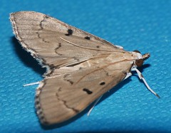 Spotted cream moth Protonoceras argocephala Spilomelinae Crambidae Mandalay rainforest Airlie Beach P1080747 (Steve & Alison1) Tags: spotted cream moth protonoceras argocephala spilomelinae crambidae mandalay rainforest airlie beach