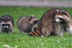 CuteTrashPandas (jmishefske) Tags: greenfield mom female nikon kits westallis raccoon d500 june wisconsin park milwaukee 2019 county animal