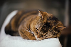 2019.6.16 (Nazra Z.) Tags: munchkin cat sleeping home indoors animal pet okayama japan 2019 raw vscofilm
