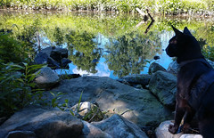 Reflections (annette.allor) Tags: black cat feline outside woods adventure chat outdoors