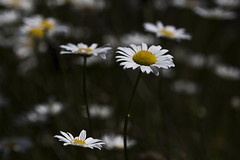 Variation on a theme (Jan.Timmons) Tags: pacificnorthwest wilddaisies nature natureconservancy outside outdoors cloudyday afteraspotofrain wild free lessnarrowdof