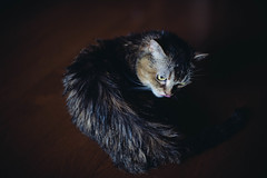 2019.6.18 : 32/365 (Nazra Z.) Tags: munchkin cat after bath licking grooming pet raw vscofilm 2019 okayama japan indoors animal