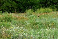 CEDAR RIDGE PRESERVE 6 (k.nanney) Tags: field meadow wildflowermeadow flower texaswildflowers wildflower texasflora joepoollake cedarridgepreserve audubonpreserve northcentraltexas dallas texas tx dallascounty nikon d750 afsvrmicronikkor105mmf28gifed nikkor105mmmicro 105mm kennethnanney kennanney nanney