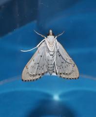 Spotted cream moth Protonoceras argocephala Spilomelinae Crambidae Mandalay rainforest Airlie Beach P1080734 (Steve & Alison1) Tags: spotted cream moth protonoceras argocephala spilomelinae crambidae mandalay rainforest airlie beach