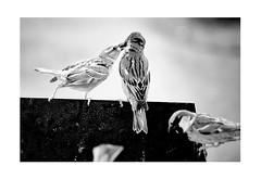 Mom, feed me! (nikolys) Tags: birds bw blackandwhite parents nikon z6