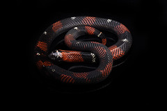 Ayahuasca (Julian Rossi) Tags: snake snakes reptile reptiles tricolorhognose tricolorhognosesnake lystrophispulcher
