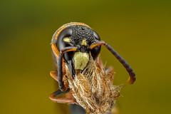 Peaceful slumber 4 (affectatio) Tags: macro mpe65 bug insect wasp sleeping potterwasp eumeninae 6d canon6d focusstack zerene zerenestacker