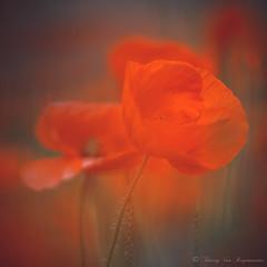 Coquelicot (vanregemoorter) Tags: coquelicot fleurs macro nature red colour flower flowers