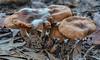 Fungus v fungus - Pin mould on Cortinarius sp - NSW (annepowell500) Tags: pinmould fungus fungi nsw australia brown entoloma