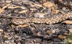 A survivor (Photosuze) Tags: rattlesnakes venomous animals nature wildlife reptiles fire aftermath southernpacificrattlesnake
