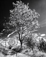 The Arrival of Summer... (Ody on the mount) Tags: anlässe bäume canon filmkorn g7xii landschaft licht lichteinfall pflanzen powershot schwäbischealb wanderung weg wolken bw blackandwhite clouds grain landscape light monochrome sw schwarzweis tree lichtenstein badenwürttemberg deutschland