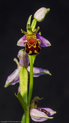 Bee Orchid (Ophrys apifera) (BiteYourBum.Com Photography) Tags: dawnandjim dawnjim biteyourbum biteyourbumcom copyright©2019biteyourbumcom copyright©biteyourbumcom allrightsreserved uk unitedkingdom gb greatbritain england canoneos7d canonefs60mmf28macrousm canonmacrotwinlitemt26exrt apple imac5k lightroom6 ipadair appleipadair camranger manfrotto055cxpro3tripod manfrotto804rc2pantilthead loweproprorunner350aw seaford highover highandover southdownsnationalpark southdowns eastsussex sussex bee orchid ophrys apifera beeorchid ophrysapifera
