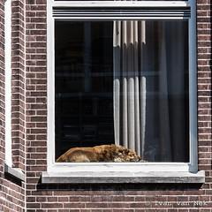 How much is that dog in the window? (Ivan van Nek) Tags: burgemeesterreigerstraat utrecht thenetherlands dog provincieutrecht nederland paysbas holland dieniederlande window hond hund chien kwijl nikon d7200 sigma1770 nikond7200 dogsbehavinglikecats derailinator
