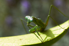 Ready to charge (59ling) Tags: mantis insects closeup macro bokeh sony a6500