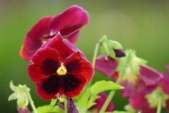 Pensées (fabien.raye) Tags: fleurs pensées pensée flower red summer pansies pansy