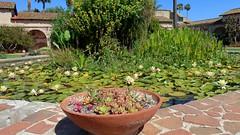 190609 181 Historic Mission San Juan Capistrano - Central Courtyard, bowl with Echeveria agavoides, Sedeveria 'Letizia', Crassula capitella 'Variegata', all guessing
