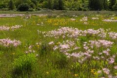_DSC3412 (doug.metcalfe1) Tags: 2019 balsamragwort cardenalvar dougmetcalfe kawarthalakes nature ontario outdoor prairiesmoke spring landscape wildflowers