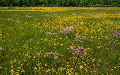 _DSC3421 (doug.metcalfe1) Tags: 2019 balsamragwort cardenalvar dougmetcalfe kawarthalakes nature ontario outdoor prairiesmoke spring landscape wildflowers