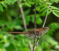 _DSC2759 (doug.metcalfe1) Tags: ontario bird nature spring outdoor brownthrasher 2019 kawarthalakes cardenalvar wylieroad dougmetcalfe