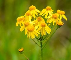 _DSC2648-Edit (doug.metcalfe1) Tags: 2019 balsamragwort cardenalvar dougmetcalfe kawarthalakes nature ontario outdoor spring wildflowers