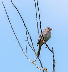 _DSC2594 (doug.metcalfe1) Tags: 2019 cardenalvar dougmetcalfe fieldsparrow kawarthalakes nature ontario outdoor spring bird