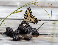 _DSC2593 (doug.metcalfe1) Tags: 2019 canadiantigerswallowtale cardenalvar dougmetcalfe kawarthalakes nature ontario outdoor spring butterfly wildflowers