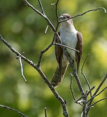 _DSC2575 (doug.metcalfe1) Tags: 2019 blackbilledcuckoo cardenalvar dougmetcalfe kawarthalakes nature ontario outdoor spring bird