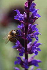 Salvia and Bee (Bri_J) Tags: rhs chatsworthflowershow2019 chatsworthhouse edensor derbyshire uk chatsworth flowershow nikon d7500 salvia bee flowers macro