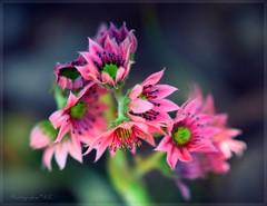 Nature Pink (ruthehrhardt) Tags: thinkpink smileonsaturday flower pink nature flora macro close up