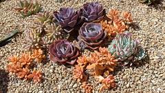 190609 137 Historic Mission San Juan Capistrano - Sacred Garden, Echeveria 'Perle von Nurnberg', Echeveria 'Purple Pearl', Sedum nussbaumerianum, x Sedeveria 'Blue Elf', x Pachyveria 'Blue Pearl', all probably