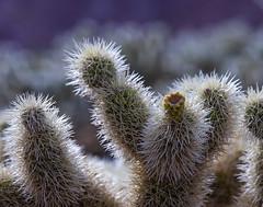 Nelson Teddy-bear Cholla Cactus_04 (brucekester@sbcglobal.net) Tags: nelson nevada ghosttown teddybearchollacactus