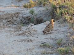 IMG_0832 (*rosamundi*) Tags: sandgrouse botswana campkalahari kalaharidesert