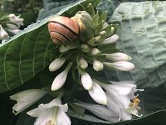 Snail on Hosta (tabbynera) Tags: snail hosta