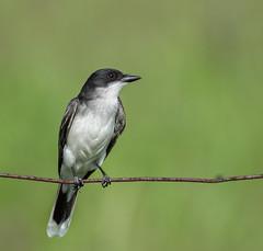 _DSC2746 (doug.metcalfe1) Tags: 2019 cardenalvar dougmetcalfe easternkingbird kawarthalakes nature ontario outdoor spring wylieroad bird