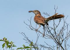 _DSC2585 (doug.metcalfe1) Tags: 2019 cardenalvar dougmetcalfe kawarthalakes nature ontario outdoor spring bird
