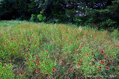 FIREWHEEL 9 (k.nanney) Tags: flower field dallas nikon texas meadow d750 20mm wildflower firewheel texaswildflowers indianblanket dallascounty gaillardiapulchella cedarridgepreserve joepoollake wildflowermeadow audubonpreserve nanney nikon20mm kennanney kennethnanney texasflora afsnikkor20mmf18g texaslandscape