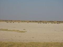 IMG_0878 (*rosamundi*) Tags: wildebeest campkalahari botswana kalaharidesert