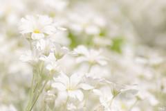 Blanc sur blanc !! (thierrymazel) Tags: blanc white fleurs flowers bokeh pdc dof profondeurdechamp macro proxi