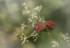 Love Bugs (SkyeWeasel) Tags: graphosomaitalicum shieldbug macro insect bug reproduction mating nature animal ngc npc