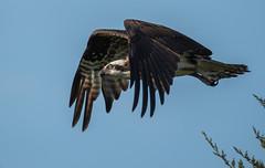 _DSC2839 (doug.metcalfe1) Tags: 2019 cardenalvar dougmetcalfe kawarthalakes nature ontario osprey outdoor spring bird