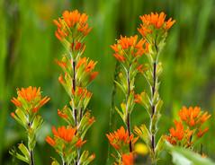 _DSC2671 (doug.metcalfe1) Tags: 2019 cardenalvar dougmetcalfe indianpaintbrushcastilleja kawarthalakes nature ontario outdoor spring wildflowers