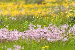 _DSC2629 (doug.metcalfe1) Tags: 2019 balsamragwort cardenalvar dougmetcalfe kawarthalakes nature ontario outdoor prairiesmoke spring landscape wildflowers