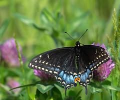 _DSC2543 (doug.metcalfe1) Tags: 2019 blackswallowtail cardenalvar dougmetcalfe kawarthalakes nature ontario outdoor spring tigerswallowtale butterfly