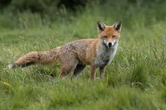 The Boss (Glenn.B) Tags: nature animal mammal wildlife buckinghamshire fox grassland redfox britishfox