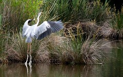 MY héron , who's leaving every time he sees me :-) (evablanchardcouet) Tags: oiseau bird heron nature water