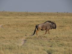 IMG_0868 (*rosamundi*) Tags: wildebeest campkalahari botswana kalaharidesert