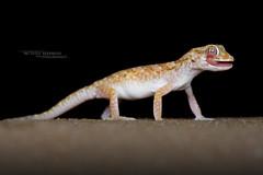Stenodactylus sthenodactylus (Matthieu Berroneau) Tags: sony alpha ff 24x36 macro nature wildlife animal fe sonya7iii sonya7mk3 sonyalpha7mark3 sonyalpha7iii a7iii 7iii 7mk3 sonyilce7m3 herp herping trip israel israël reptile reptilian reptilia 90 f28 g oss fe90f28macrogoss sonyfesonyfe2890macrogoss objectifsony90mmf28macrofe sel90m28g lizard lézard gecko stenodactylus sthenodactylus stenodactylussthenodactylus nain des sables geckonaindessables lichtensteins shortfingered lichtensteinsshortfingeredgecko shortfingeredgecko yeshimonit metzuya yeshimonitmetzuya
