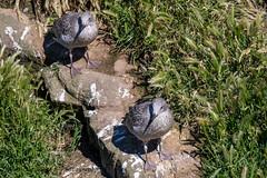 Goélands argentés (Oric1) Tags: bird birding france fréhel ornithologie ornithology oric1france jeanlucmolle bretagne