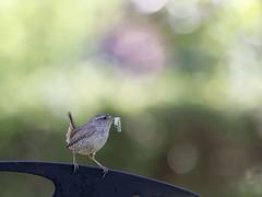 Troglodyte mignon - Troglodytes troglodytes (Nicopope) Tags: troglodyte mignon oiseau vogel birds nourrissage nikon d500