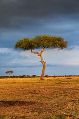 Quintessential (Xenedis) Tags: acacia acaciatree africa afrika clouds eastafrica gamedrive goldenhour grass kenya landscape maasaimara maranorthconservancy narokcounty plains republicofkenya riftvalley safari savannah sky tree fh ig